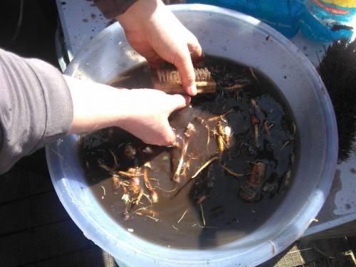 scrubbing-dendelion-roots